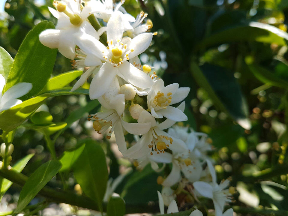 Citrus flower closeup