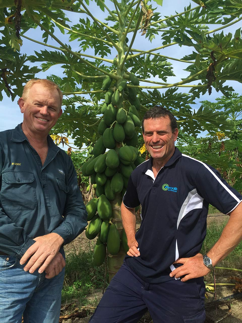 Total Grower Services with a papaya crop at Mackays